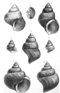Mollusks_of_the_genus_Neothauma